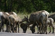 big-horn-sheep-grazing-at-the-roadside.jpg