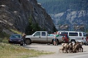 bighorn-sheep-grazing-on-the-roadside.jpg