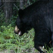 black-bear-close-up-in-canada.jpg