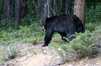 black-bear-in-woods.jpg
