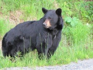 black-bear-picture