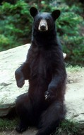 black-bear-public-domain.jpg