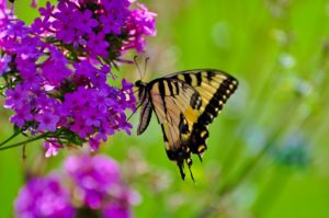 Butterflies are the most prevalent in the mornings at Longwood Gardens near Philadelphia.