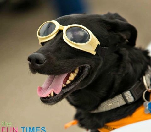 Dyna the Biker Dog likes her Doggles... and she looks good in them too!
