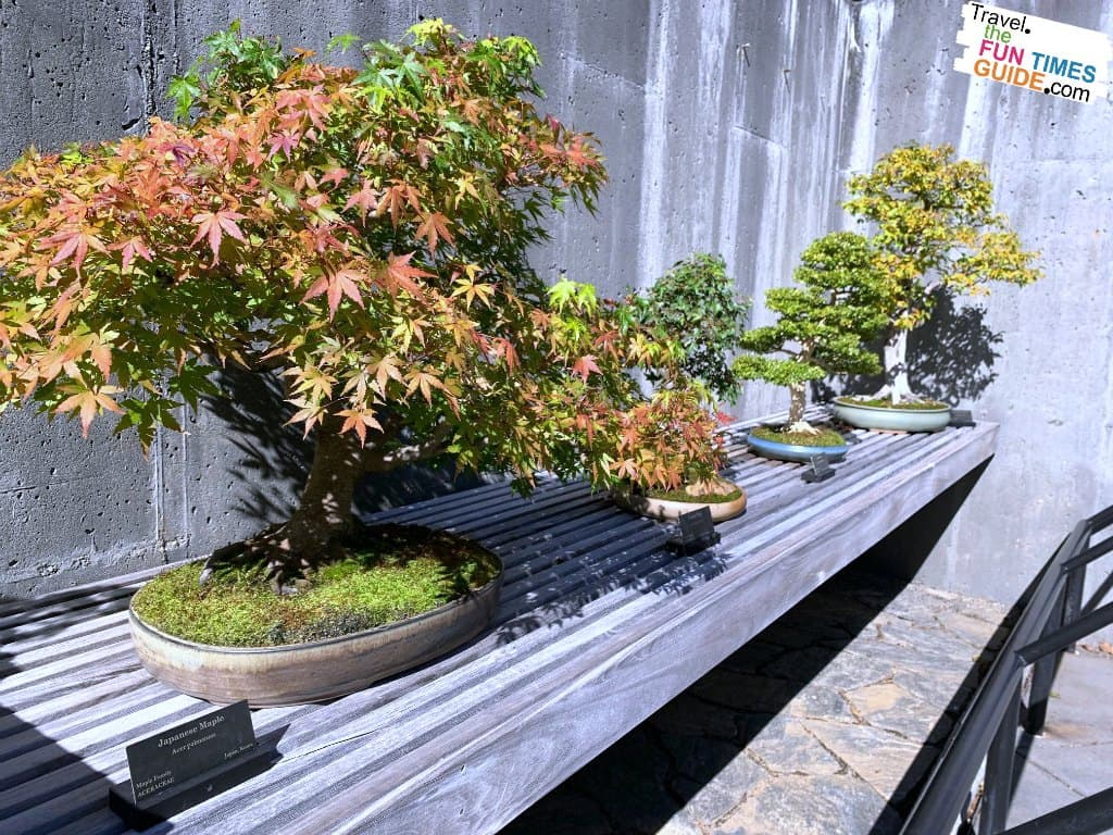 Fall foliage on a Japanese Maple bonsai tree