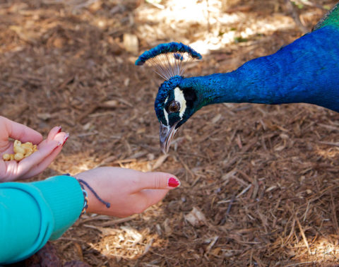 You can even get close enough to feed some of the peacocks at Fountain of Youth park.