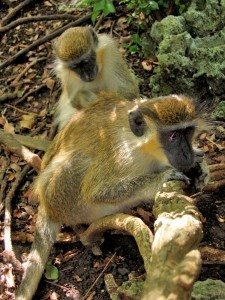 green-monkey-barbados