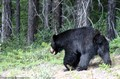 large-black-bear-in-canadian-rockies.jpg