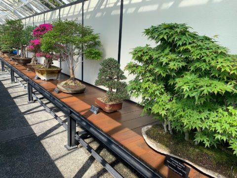 Longwood Gardens has an amazing collection of Bonsai trees!