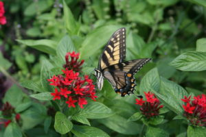 Butterflies are abundant at Longwood Gardens, PA.