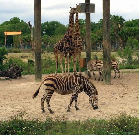 Lowry Park Zoo is one of two zoos on our list of the best cheap florida attractions