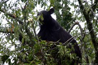 mother-black-bear-in-a-tree.jpg