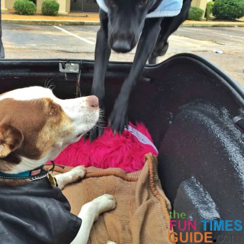 Both of our dogs love motorcycling! They are always eager to jump right into the motorcycle dog trailer.
