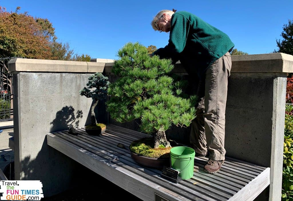 A gardener at the North Carolina Arboretum tending to a bonsai tree.
