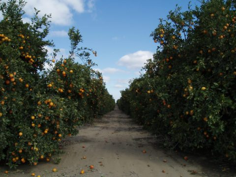 orange groves in florida are plentiful - they've become popular tourist attractions in florida
