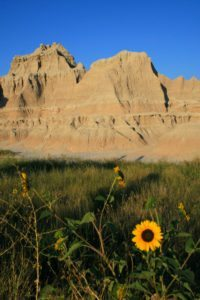 sunflowers-at-badlands