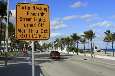 90% of sea turtle nesting in the U.S. occurs in Florida from March through October each year. That's when wild Florida sea turtles weighing hundreds of pounds come out of the ocean and onto the sand to lay their eggs.