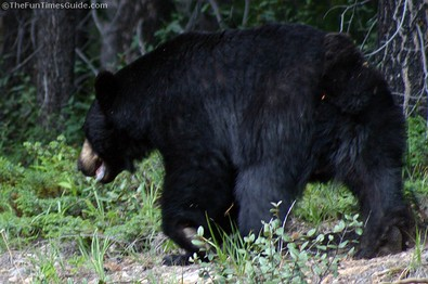 very-large-black-bear-in-canada.jpg